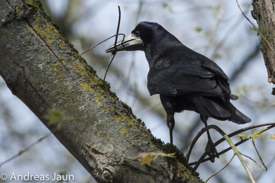 Saatkrähe - Corvus frugilegus 2015.jpg