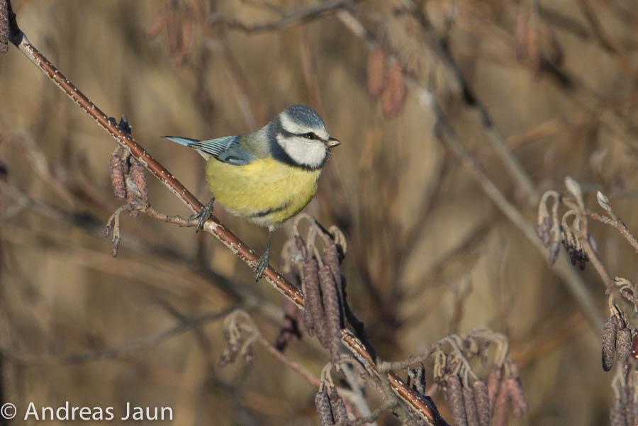 Blaumeise - Parus caeruleus 2014.jpg