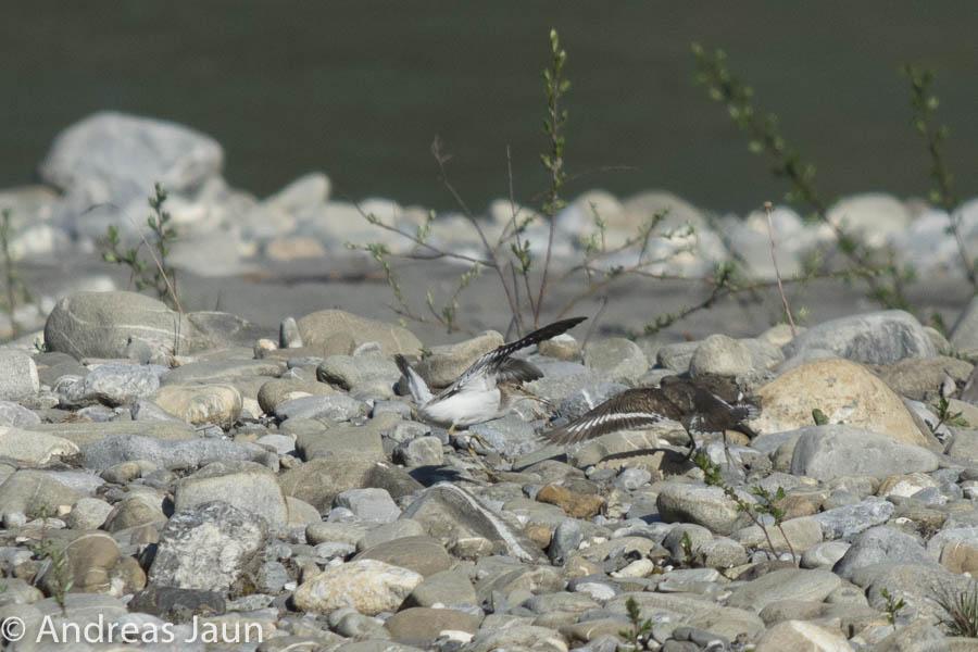 Flussuferläufer 4 - Actitis hypoleucos 2015.jpg