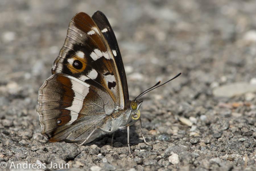 Grosser Schillerfalter - Apatura iris 2014-2.jpg