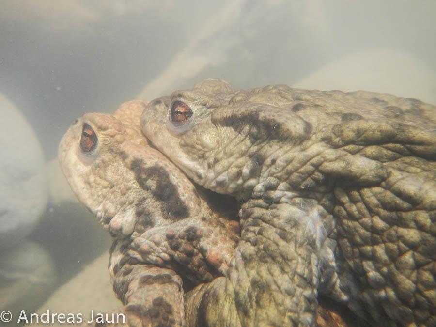 Erdkrötenfortpflanzung 2014.jpg
